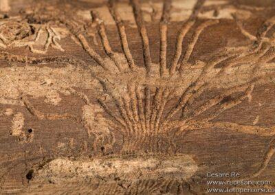Corteccia scavata Insetti Xilofagi