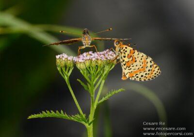 Farfalle cesare re