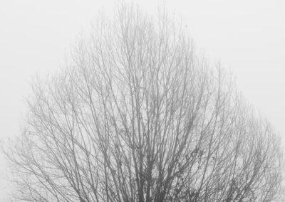 albero nebbia