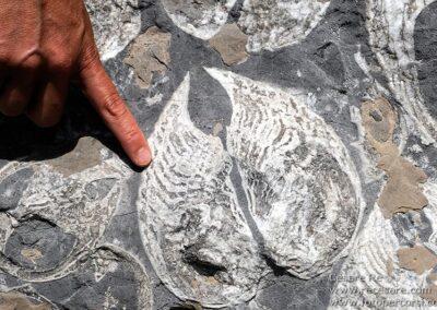 fossile megalodon roccia