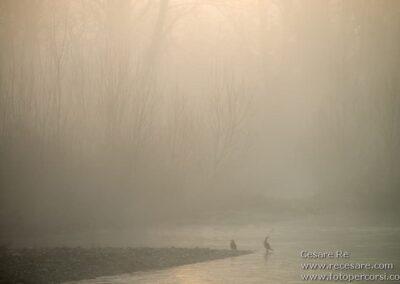 cormorani fiume ticino